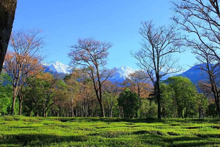 tea_gardens_at_palampur_503
