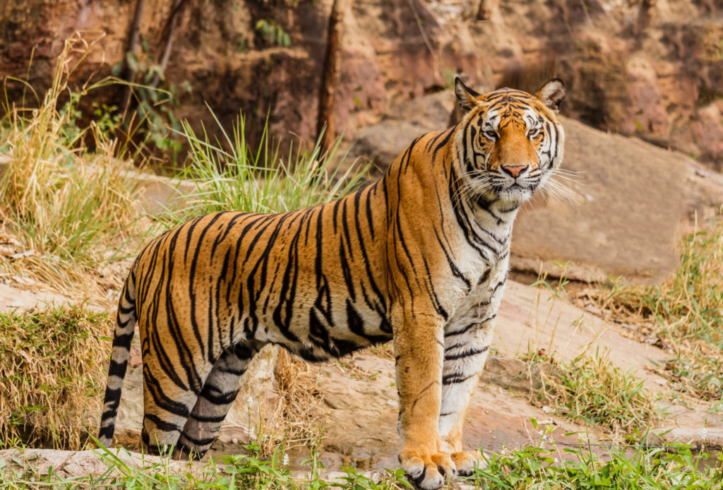 An Indian tiger in the wild. Royal ,Bengal tiger